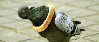 Pigeon stuck in onion ring