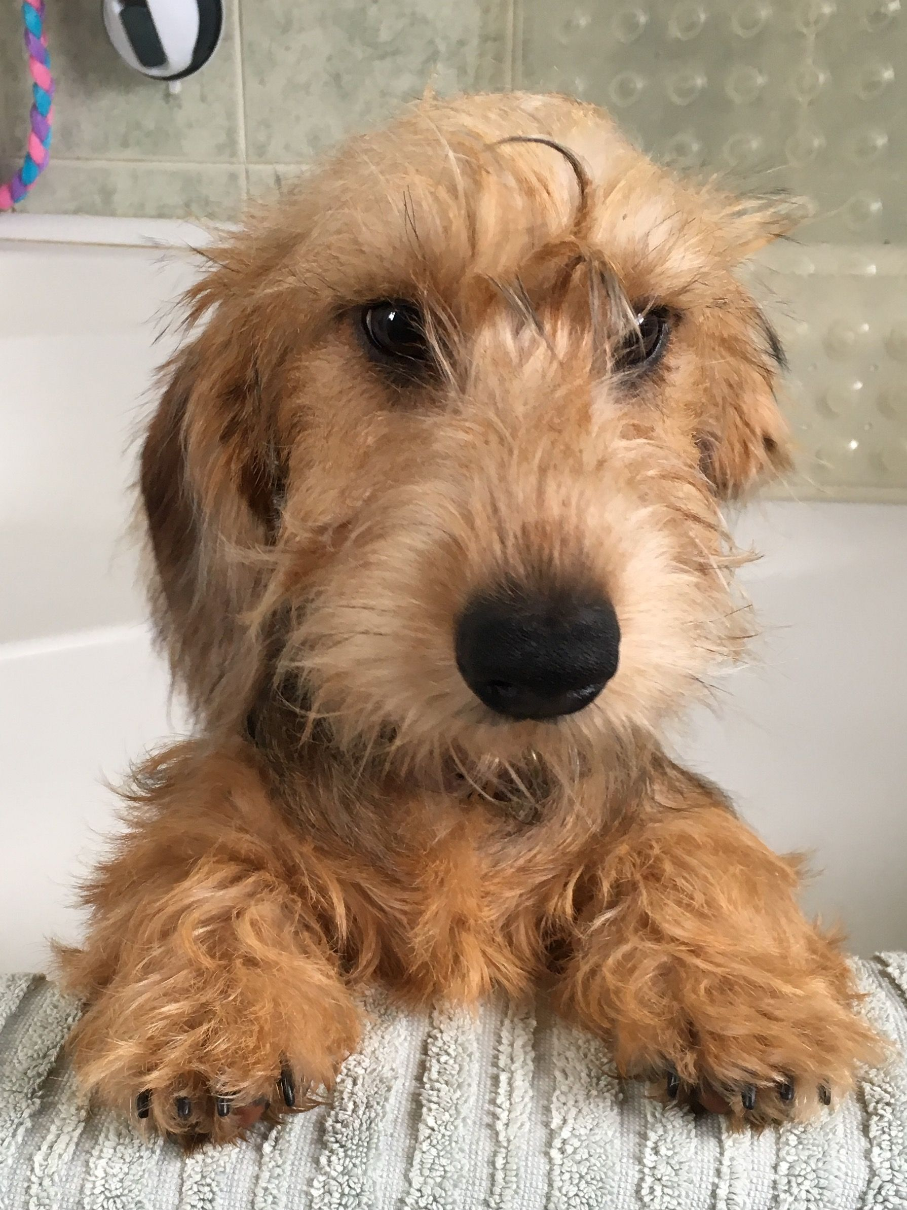 Dudley, just out of the bath! Wire haired dachshund