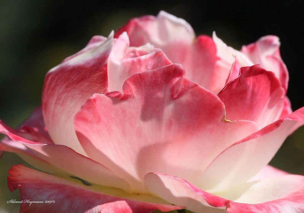 Rosa Athene