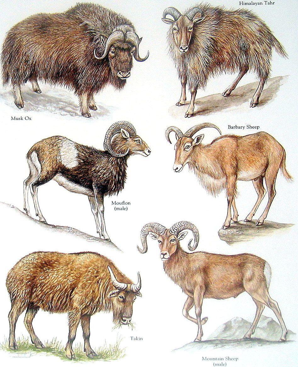 Bovids - Musk Ox, Himalayan Tahr, Tukin, Mountain Sheep - Vintage ...