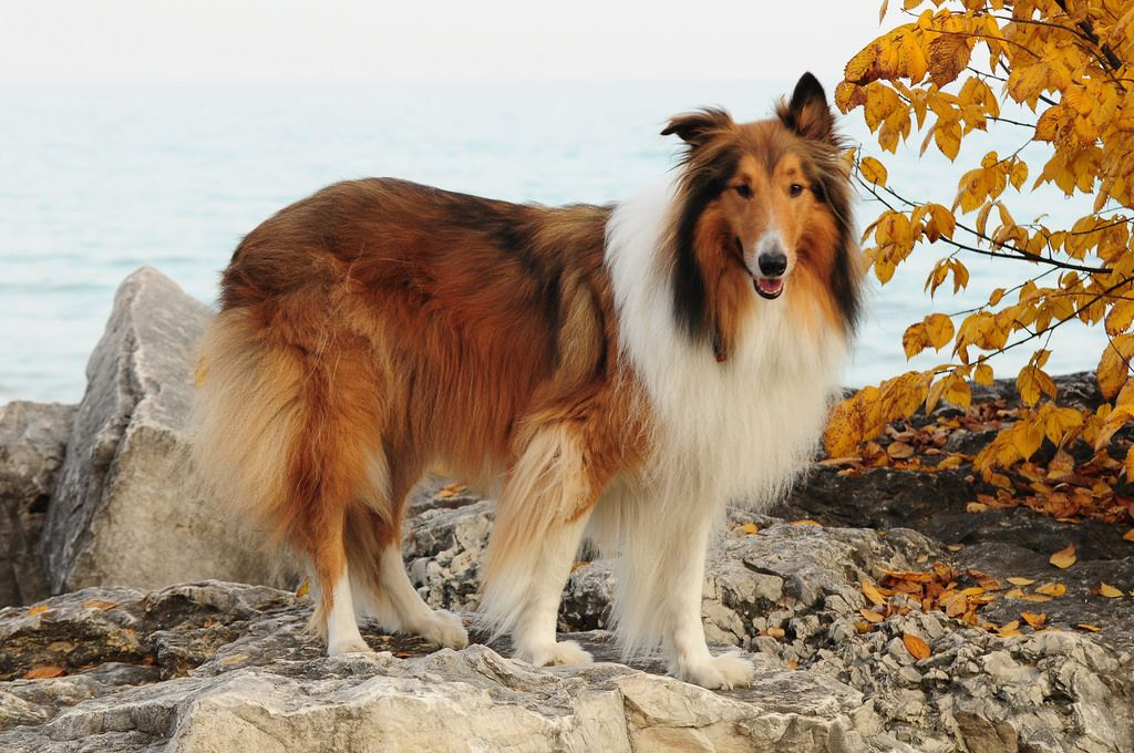 Our Rough Collie Buddy Rough Collie Herding Cats Collie