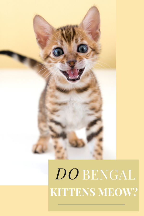 Do Bengal Kittens Meow A Lot 7 Reasons 3 Ways To Reduce It