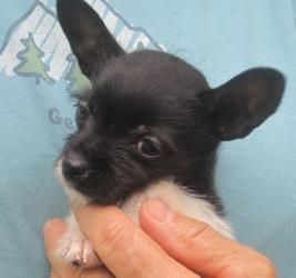 Ditto Is An Adoptable Chihuahua Dog In Bradenton Fl This Tiny
