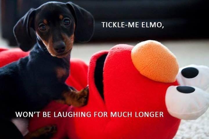 Elmo Dies Muppets Dogs Dachshund Dog Love