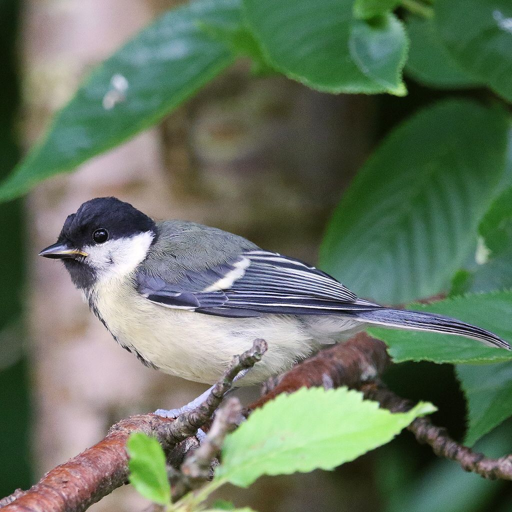 Pin On Great Tits Other Birds