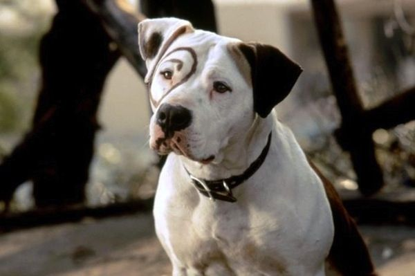 Petey Famous Dogs Dog Movies Really Cute Dogs