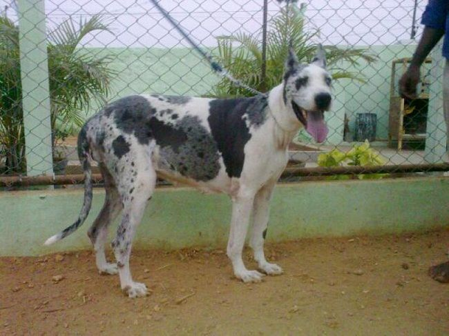 Great Dane Puppies For Sale In Coimbatore Zoe Fans Blog Great