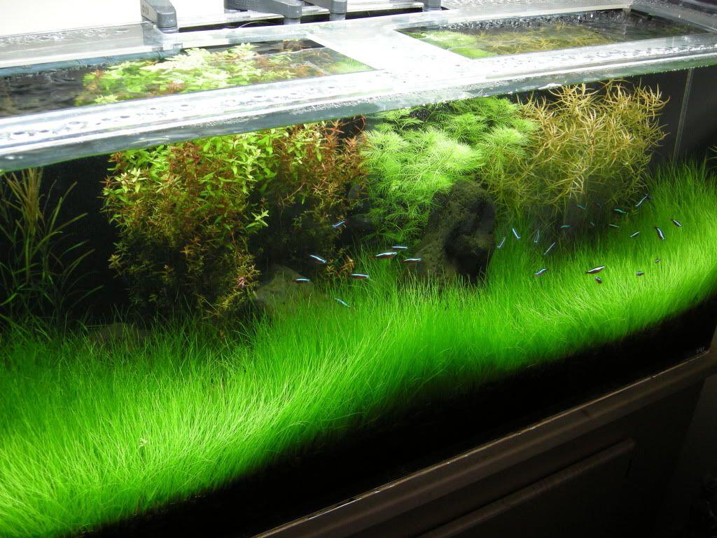 Dwarf Hair grass | Aquarist | Aquarium, Planted aquarium