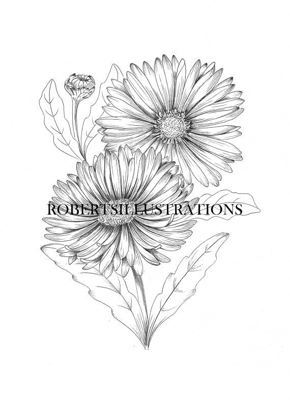 Birth Flower September Aster Colouring Page Instant Download