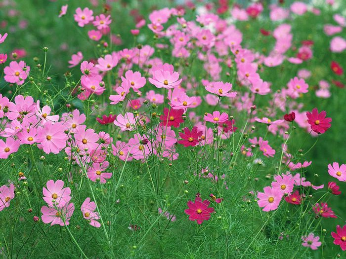 Pink And Red Cosmos Flowers 22 Wallcoo Net Cosmos Flowers Cosmos Flower Pictures Cosmos Plant
