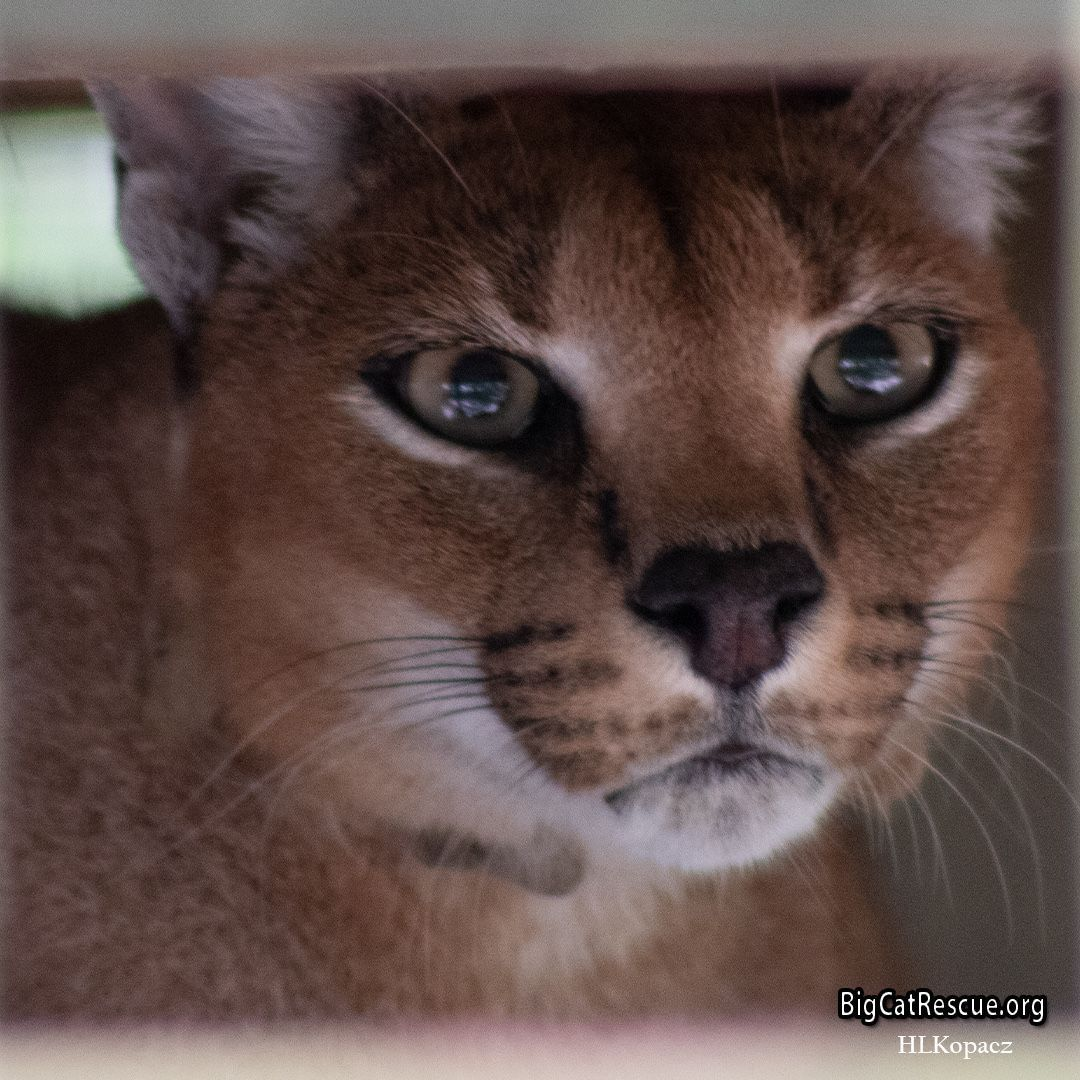 Miss hissy Chaos Caracal is keeping an eye on the keepers