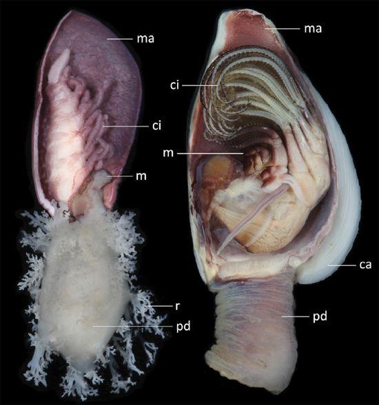 Crustacea Crustáceo Classe Maxillopoda Subclasse