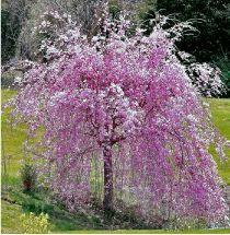 cerisier du japon 39 kiku shidare sakura 39 arbres et arbustes pinterest jardins arbuste et. Black Bedroom Furniture Sets. Home Design Ideas