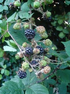 Our blackberries