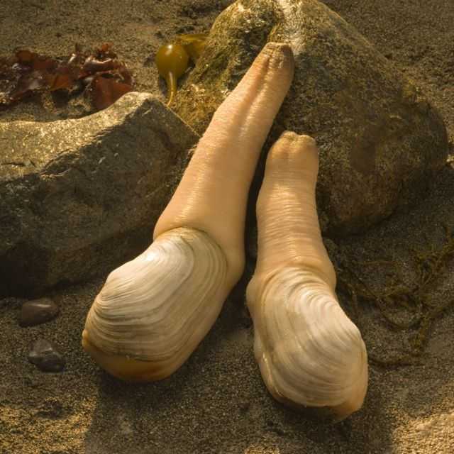 The Geoduck Pronounced Gooey Duck Is Native To The Pacific