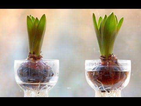 How To Grow Flower Bulb Urdu Hindi Bulb Flowers Spring Bulbs Growing Bulbs