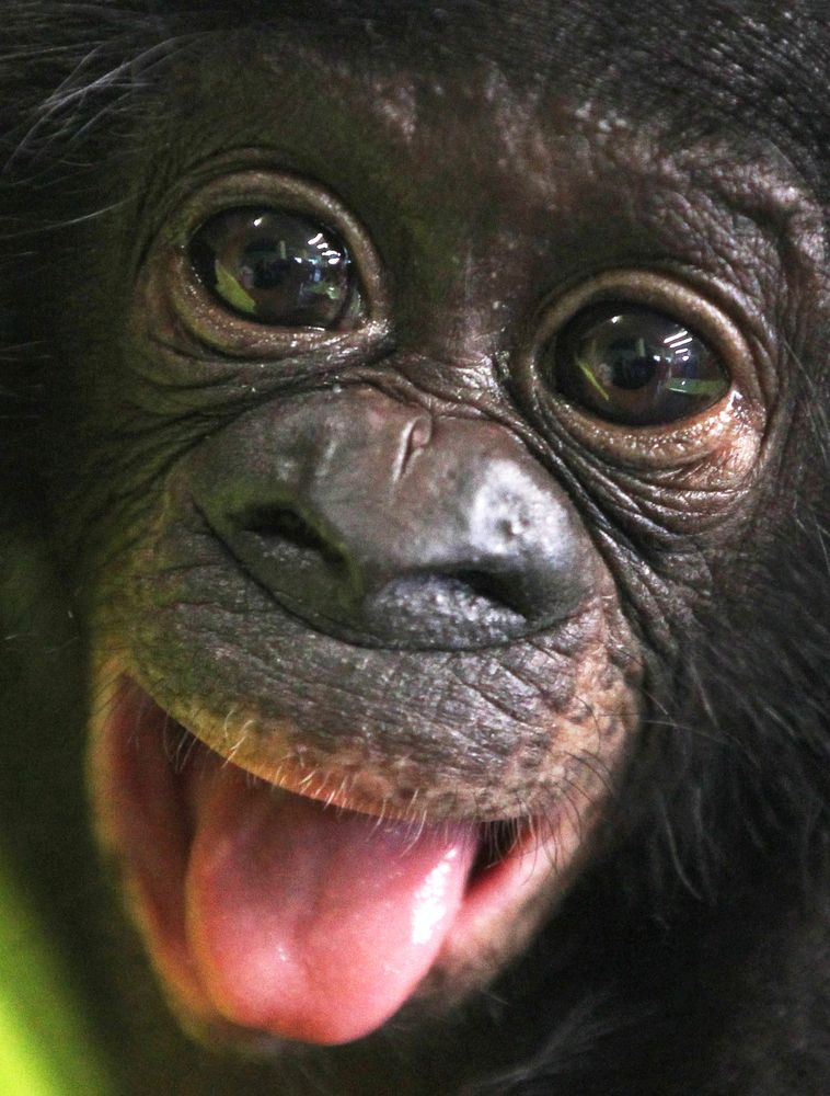 Bonobo baby Sambo looks into the camera in the zoo of Frankfurt, Germany, Tuesday, April 24, 2012. The male chimpanzee baby was born on January 7 and had to be raised by hand.태양성바카라۰태양성바카라۰태양성바카라۰태양성바카라۰태양성바카라۰태양성바카라۰태양성바카라۰태양성바카라۰태양성바카라۰태양성바카라۰ https://www.pinterest.com/ver0514