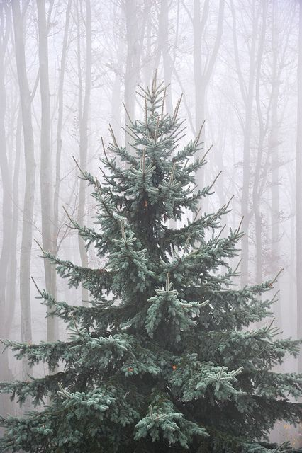 Snowy christmas pine tree iphone 6 plus wallpaper - Pine tree wallpaper iphone ...