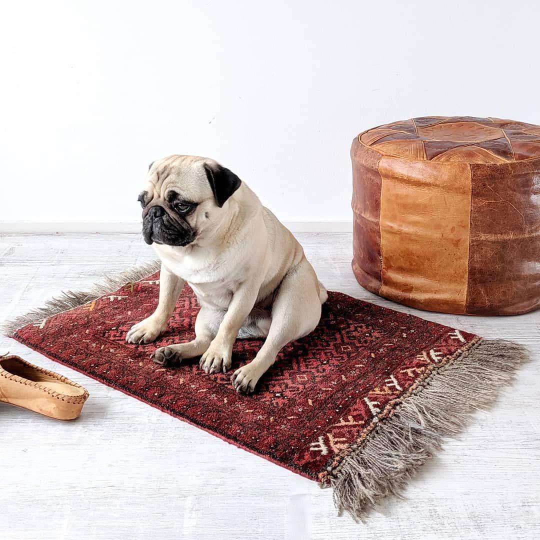 A Bored Pug Twogirlsandapug Bertjethepug Mopshond Dutchpugs
