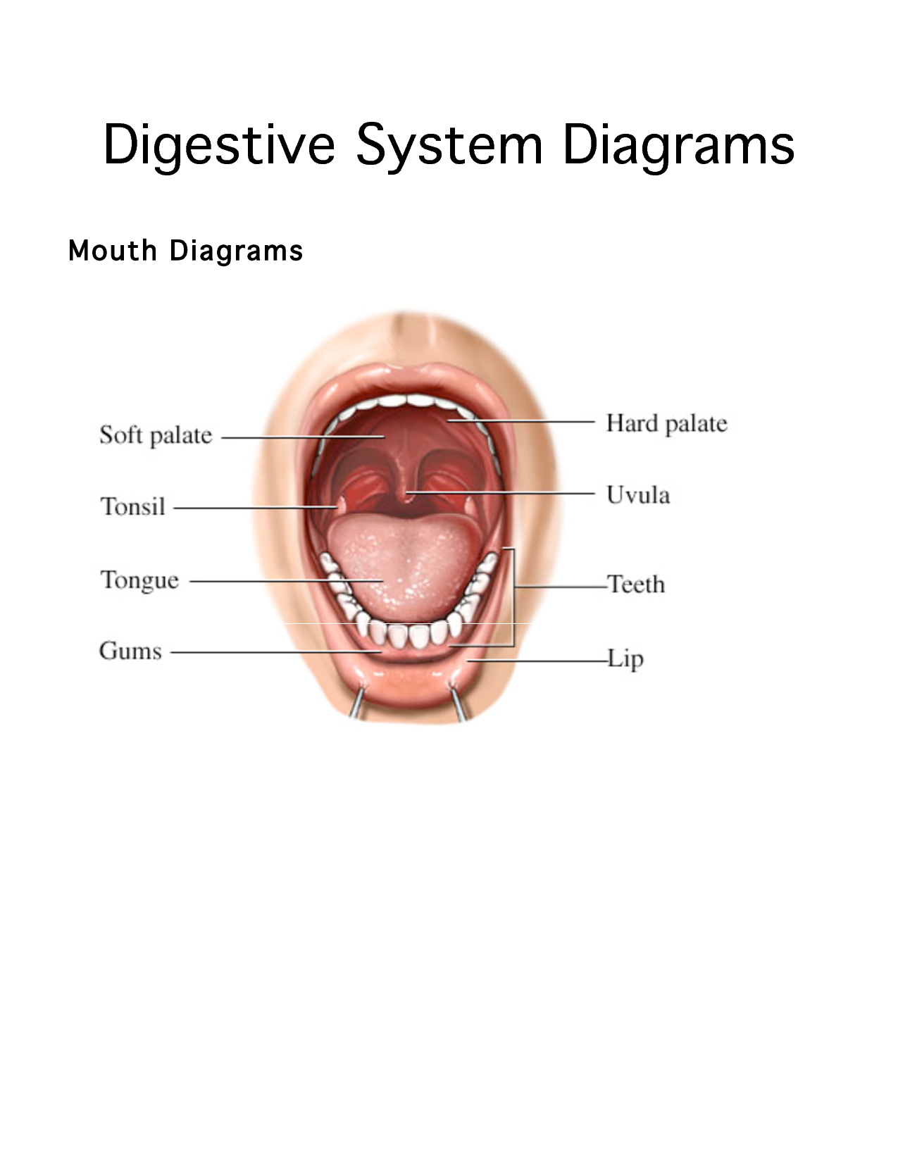 Anatomy Digestive Diagram Salivary Glands How To Prune A Cherry Tree Human System Diagrams