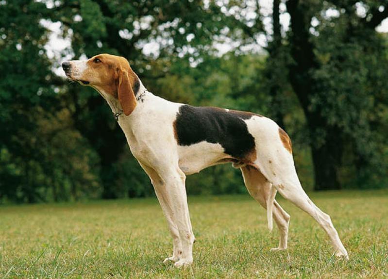 Гончие собаки фото русская пегая