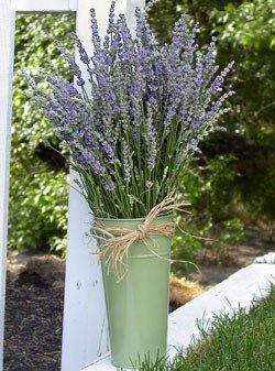 Fresh Lavender Flower Buy Fresh Lavender Flowers Lavender Flowers Lovely Lavender Lavender Bouquet