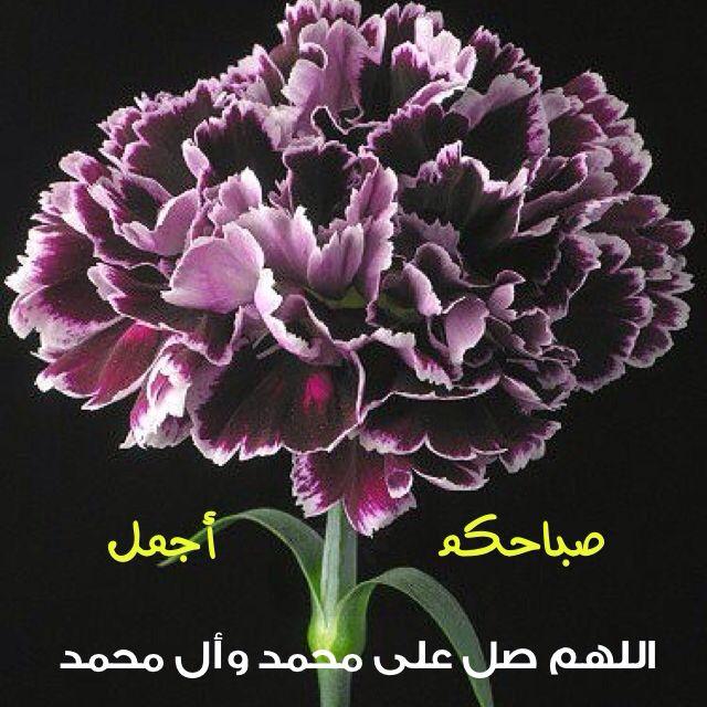 صباح مشرق كإشراقة وجوهكم الجميلة Carnation Flower Beautiful Flowers Amazing Flowers