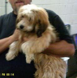 ID # 40169 is an adoptable Lhasa Apso Dog in Ironton, OH. Available for a limited time from the Lawrence County Dog Pound, 1302 Adams Lane Ironton, OH 45638. Please call the dog warden at 740-533-1736...