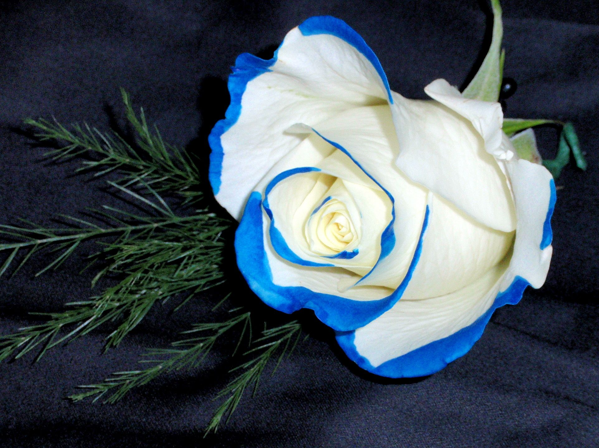 boutonniere blue tipped white rose prom pinterest
