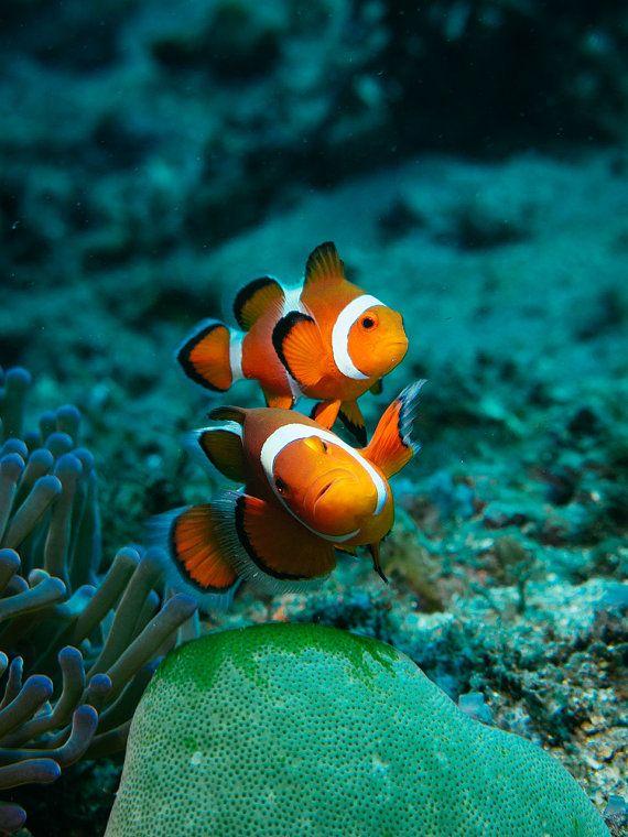 Orange Clown Fish Pair Underwater Clown Fish Art Etsy Clown Fish Underwater Photography Ocean Underwater Photography