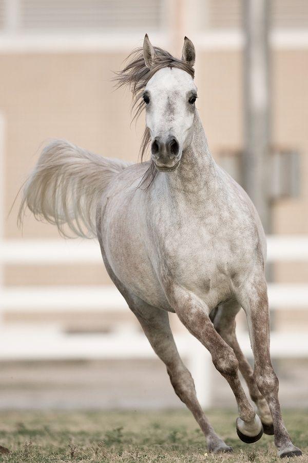 Gray Arabian Horses | Arabian horse | Running Horses ...