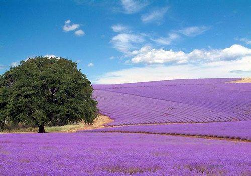 Lavender fields in Grasse, France
