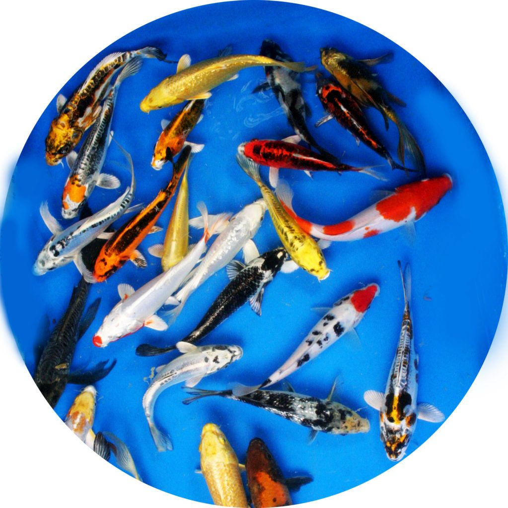 Our In Store Koi And Butterfly Koi Prices On All Sizes And Grades Of Koi We Offer We Have A Huge Selection Of Koi In Sizes And Grades Koi Butterfly Koi