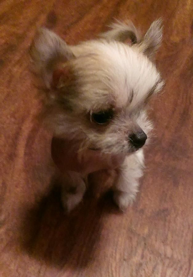 Extremely Tiny Hairy Hairless Chi Chi Puppy Looks Like A Mini Poodle Chinese Crested Chihuahua Mix In Dayton Ohio Hoobly Classifieds