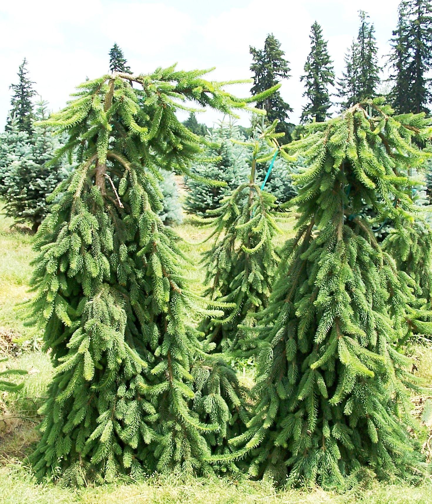Picea Abies Argentea Pendula квітковий сад ірини ковальчук Picea