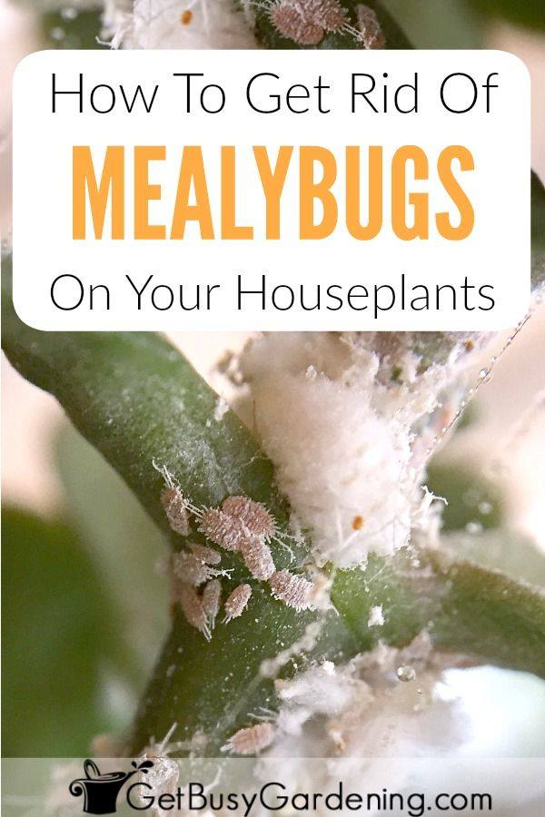 How To Get Rid Of Mealybugs On Your Houseplants For Good