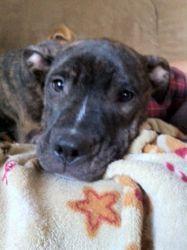 Adopt Mason On Bull Terrier Dog Pitbull Terrier Puppies