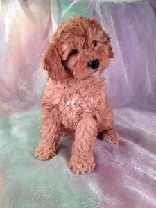 Breeder Of Dark Red Cockapoo Puppies Cockapoos For Sale Breeding