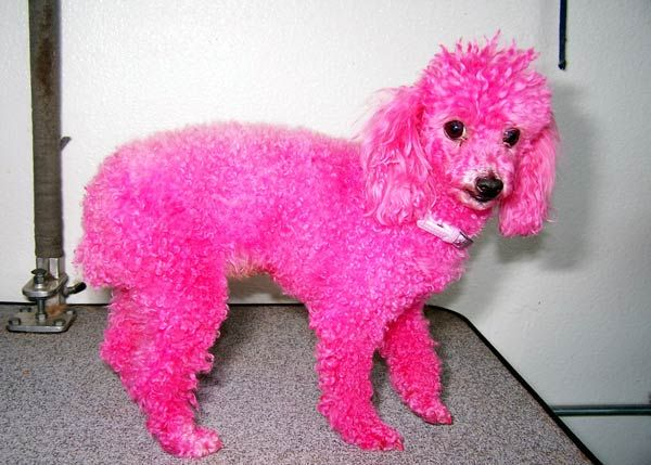 Pink Poodle Dogs Photos And Wallpapers Pink Poodle Pink Animals