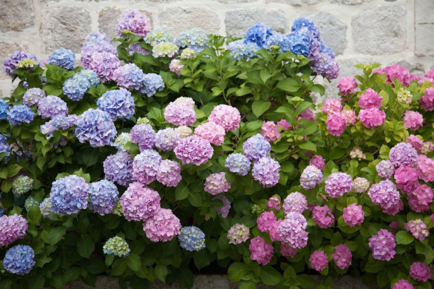 16 Flowers That Start With H (With images) Planting