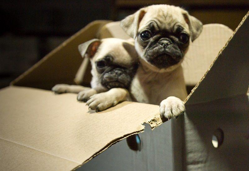 Ebay Under Pressure To Regulate Online Puppy Trade Puppies