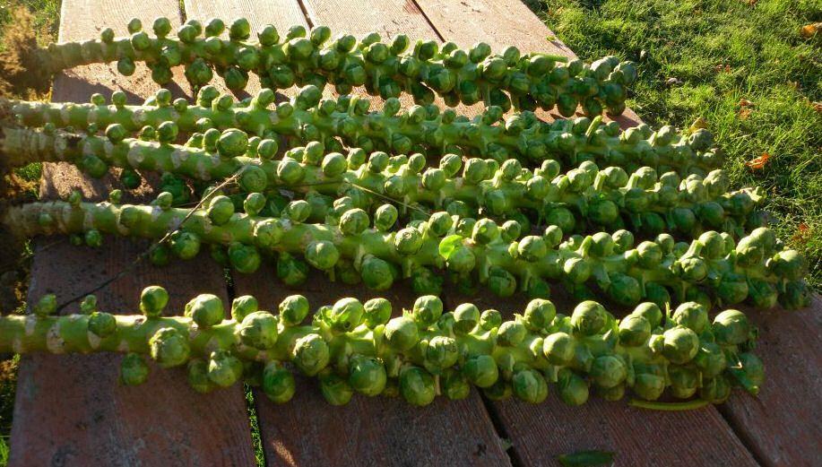 Брюссельская капуста - Прохладный Погода на полях - Как Вырастить для лучшего аромата
