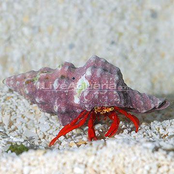 Scarlet Reef Hermit Crab Build Your Own Kit Hermit Crab Reef Aquarium Crab