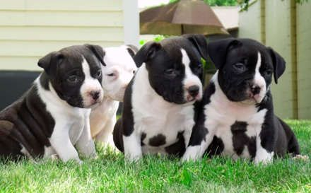 Photos Of Black And White Pitbulls Black And White American Pitbull Terrier Puppies White Pitbull Puppies Black Pitbull Puppies Black And White Pitbull