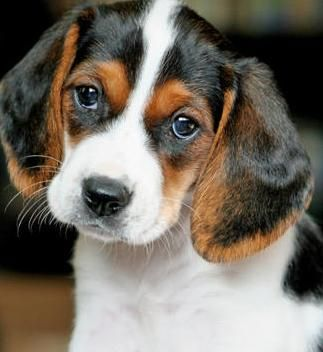 Soooo Adorable He Is Either A Beagle Or A Beagle Basset Mix