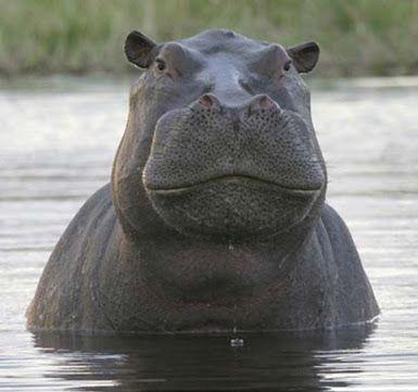 Pin Von Perry Rhodan Auf Animals Tiere Hayvanlar Nilpferd Tier Fotos Flusspferd
