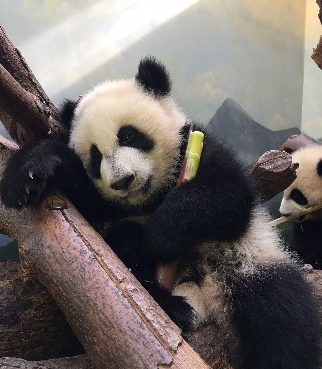 Zoo Atlanta Zooatl Panda Bear Panda Cute Panda