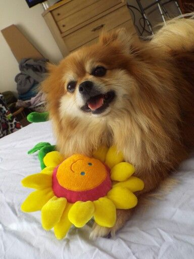 Looks just like one of mine!!!!! Nothing like a Pom smile!!!