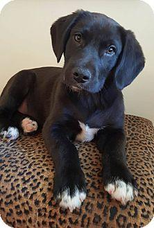 1 13 15 Trenton Nj Newfoundland Labrador Retriever Mix Meet Dillon A Puppy For Adoption Puppy Adoption Kitten Adoption Labrador Retriever Mix