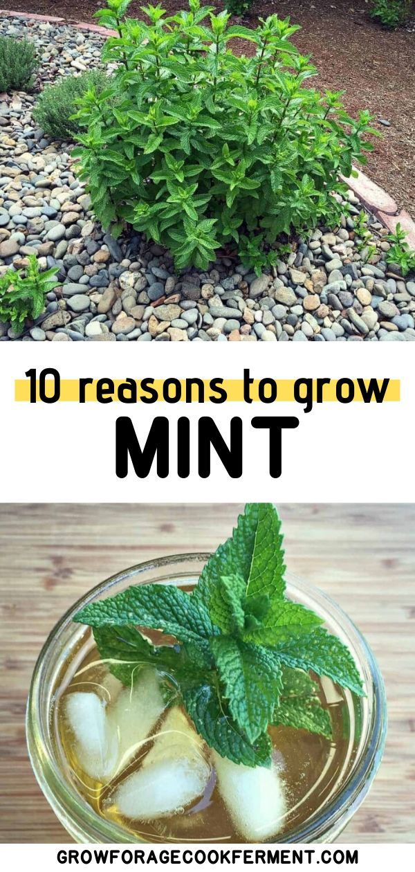10 Reasons to Grow Mint (Without Fear) is part of Vegetable garden diy, Diy herb garden, Planting herbs, Veggie garden, Home vegetable garden, Garden help - Mint has a bad reputation for taking over the garden, for good reason  But, there are many reasons to grow mint in your backyard without fear!